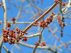 Beginning To Bud. (dccradio) Tags: lumberton nc northcarolina robesoncounty outdoor outdoors outside february winter afternoon saturday saturdayafternoon goodafternoon nikon coolpix l340 bridgecamera nature natural tree trees branch branches treebranch treebranches treelimb treelimbs spring springtime bud buds budding sky bluesky
