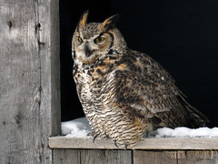 Oliver Great Horned Owl CRC IMG_2775 (Jennz World) Tags: ©jennifermlivick canadianraptorconservancy vittoria ontario canada greathornedowl owl bird raptor snow winter