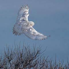 An Angel In The Sky (Kevin E Fox) Tags: snowyowl owl buboscandiacus raptor bird birding birdwatching birds birdofprey birdinflight bif islandbeachstatepark ibsp newjersey sigma150600sport sigma shorebirds shorebird nature nikond500 nikon