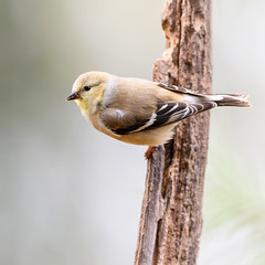 """Mrs. Finch"" (Neal Lewis) Tags: goldfinch americangoldfinch femaleamericangoldfinch femalegoldfinch bird songbird"
