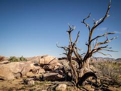 2916 Stump (paule48) Tags: california joshuatreenationalpark mohavedesert usa dead desert habitat landscape skeleton stump tree