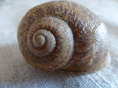 Snail shell!!  P1060838 (amalia_mar) Tags: snailshell closeup macro brown spiral details smileonsaturday shadesofbrown