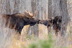 Moose Kisses... (DTT67) Tags: rut moose wyoming tetons grandtetons canon5dmkiv 500mmii 5dmkiv canon alces mammal animal forest nature wildlife