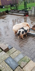 2018-September-biggetjes (5) (minicampingestella) Tags: varken