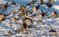 Waxwings in Flight (edhendricks27) Tags: waxwing bird animal wildlife nature canon