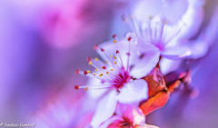 Pink Clouds (frederic.gombert) Tags: pink red color prunus plant tree lght sun sunny flower flowers bloom blossom spring macro nikon