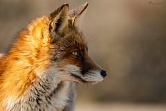 Rotfuchsportrait... (normen.nikon) Tags: d4 niko nikon 200500 wildlife fuchs säugetier tier dünen wasser holland