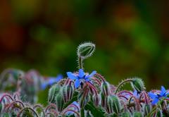 Florecillas (angelalonso57) Tags: blue composition canon eos 7d mark ii tamron 16300mm f3563 di vc pzd b016 ƒ63 2770 mm 1125 200 image macro azul makro imagen photo foto nature natura