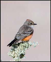 Vermillion Flycatcher (Ed Sivon) Tags: america canon nature lasvegas wildlife wild western southwest desert clarkcounty vegas flickr bird henderson nevada