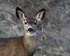 DSC_5177 Young Mule Deer head shot (futzr.fotoz) Tags: centralwashington yakimacounty muledeer rozairrigation sage brushnaturewildlifesnowblue skysilhouettealterpacific northwest