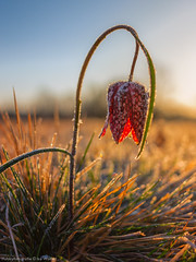 Schachblume 2 (Bikerwolferl) Tags: nature red season outdoors grass closeup ruralscene plant agriculture sunlight natur jahreszeit niemand imfreien nahaufnahme ländlichesmotiv pflanze wiese himmel wachstum frühling