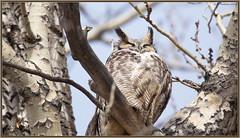 Sleepy Dad (CrzyCnuk) Tags: greathornedowl alberta canon canon6d wildlife owl calgary