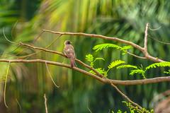 APALIS KUNGWE (Ezio Donati is ) Tags: uccelli birds animali animals foresta forest alberi trees natura nature rarita rare westafrica costadavorio abidjan arealeslagunes