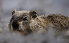 Marmotte (Maryse Hébert) Tags: marmotte