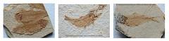Poissons d'avril (Yvan LEMEUR) Tags: poissons fossile fossilesdepoissons fossilisation eocène formationdegreenriver tertiaire paléontologie paleontology cénozoïque calcaire sédiment