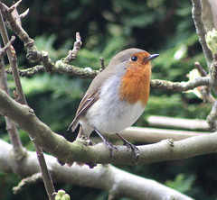 Robin. (the.haggishunter) Tags: wild wildlife nature bird garden robin tree