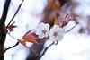 桜も終わり