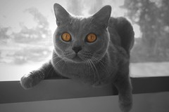 I Put A Spell On You (FlorDeOro) Tags: samsungnx photography cat animal bw selective eye sweden mijarajc