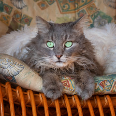 So it's a new year ? (FocusPocus Photography) Tags: fynn fynnegan katze kater cat chat gato tier animal decke blanket haustier pet