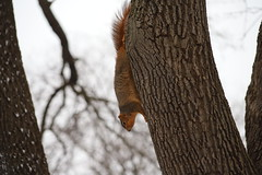 Fox Squirrels in Ann Arbor at the University of Michigan - January 8th & 9th, 2019 (cseeman) Tags: gobluesquirrels squirrels foxsquirrels easternfoxsquirrels michiganfoxsquirrels universityofmichiganfoxsquirrels annarbor michigan animal campus universityofmichigan umsquirrels01092019 winter eating peanuts acorns januaryumsquirrel snowy snow