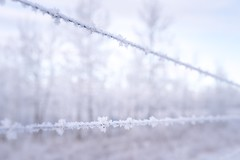 Mildly depressive (Tracey Rennie) Tags: hoarfrost barbedwire frost fence white trees