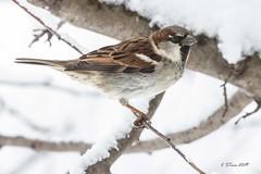IMG_4592 common house sparrow (starc283) Tags: starc283 flickr flicker bird birding birds wildlife nature natures finest outdoors outdoor sparrow commonsparrow commonhousesparrow housesparrow