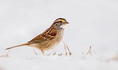 White-throated Sparrow (Lynn Tweedie) Tags: whitethroatedsparrow winter snow 7dmarkii feathers eye tail sigma150600mmf563dgoshsm eos beak bird canon missouri ngc animal