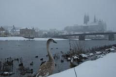 Meißen (fotio14) Tags: meisen elbe schwan burg dom brücke winter schnee