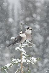 ''L'amour!'' Mésangeai du canada-Gray jay (pascaleforest) Tags: oiseau bird animal passion nature nikon wild wildlife faune québec canada amour love neige snow
