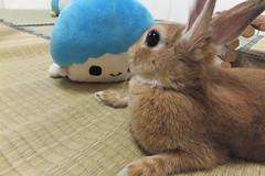 Ichigo san 1505 (Errai 21) Tags: いちごさん ichigo san  ichigo rabbit bunny cute netherlanddwarf pet ウサギ うさぎ いちご ネザーランドドワーフ ペット 小動物 1505