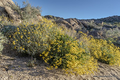 Spring in  December (doveoggi) Tags: 4496 arizona mcdowellsonoranpreserve scottsdale desert flowers hiking