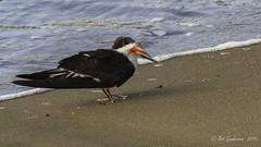 Black Skimmer (Bob Gunderson) Tags: aerialwaterbirds birds blackskimmer california northerncalifornia presidio rynchopsniger sanfrancisco waveorgan