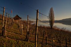 DSC00758 (ivoräber) Tags: hallwil hallwilersee wein vine vin lace alps switzerland sony schweiz swiss systemkamera suisse