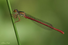 Red Beauty (Chris Kex) Tags: damselfly damsel damselflies libelle libellen kleinlibelle kleinlibellen odonata odonate zygoptera coenagrionidae schlanklibelle schlanklibellen ceriagrion tenellum zarte rubinjungfer red small animal tier insect insekt makrofotografie makro macro photography fotografie nature natur naturfotografie male männchen males pond corsica france frankreich korsika