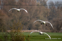 Mute Swans on Finals (Ashley Middleton Photography) Tags: inglesham riverthames animal bird england europe muteswan river swan unitedkingdom wiltshire