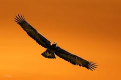 Golden Eagle (Thy Photography) Tags: goldeneagle wildlife raptor animal avian bird backyard birdofprey birds nature sunrise sunset california outdoor photography prey goldenhour wings