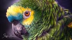 Parrot close-up (svpe4711) Tags: portrait z6 vogel vögel tier parrot natur animal gelb sigma105 papagei bird birds closeup green psittaciformes yellow grün papageienvögel