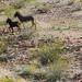 USA - Arizona -Bullhead City - Wildlife