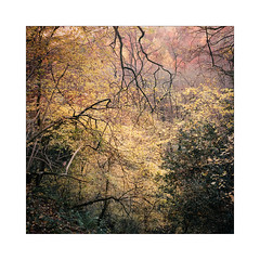 Colours (gerainte1) Tags: hasselblad501 portra400 filmcolour trees autumn woodland woods yorkshire