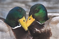 A friend who understands your tears is much more valuable than a lot of friends who only know your smile.         ~Anonymous (Melinda G Pix) Tags: greenhead hunting outdoor nature friends bird duck mallard waterfowl