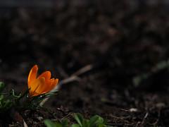 a forerunner of the spring (murozo) Tags: crocus flower green spring garden nikaho akita japan クロッカス 花 緑 春 庭 にかほ 秋田 日本