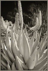 Tohono Chul IR #8 2019; Giant Spiny Aloe in Bloom (hamsiksa) Tags: plants flora desertplants desertflora oldworld africa africandeserts xerophytes succulents aloes aloe flowering flowers blooms blossoms arizona tohonochulgardens gardens botannicalgardens botanicals blackwhite infrared digitalinfrared infraredphotography