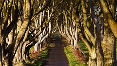 Dark Hedges after the rain (eelcowest) Tags: armoy trees sunshine gameofthrones darkhedges ireland puddle canon eos 6d 70300