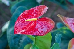 Anthurium (Borreltje.com) Tags: kleincostarica costarica tropical tropics someren nature wildlife nikon animalphotography