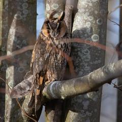 Great horned owl. (JBA-77) Tags: green greathornedowl owl bird prey beauty beautiful nature wildlife