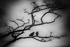Cauchemar ou Souvenir?   (Explored) (Katrina Wright) Tags: dsc3080edit birds crows tree silhouette bw monochrome two clouds sky animals