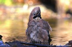 Ghiandaia _010 (Rolando CRINITI) Tags: ghiandaia uccelli uccello birds ornitologia avifauna castellettomerli natura