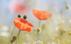 Summer memories (chtimageur) Tags: summer fields landscape macro bokeh memories sunshine insects poppies soft happy canon 6d mark ii 85 18
