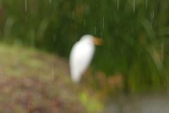 It's raining in my heart..... (Stella's eye) Tags: ripbuddyholly autofocusintherain egret beautyinblur buddyholley