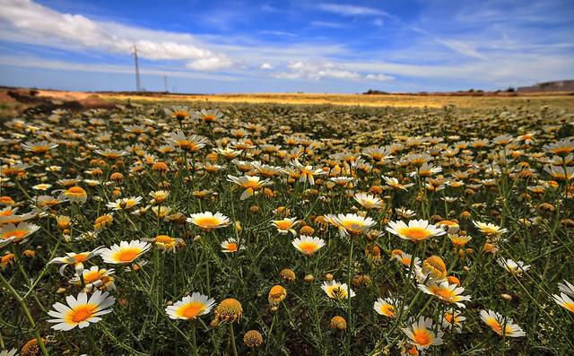 Обои поле, небо, ромашки картинки на рабочий стол, раздел цветы - скачать